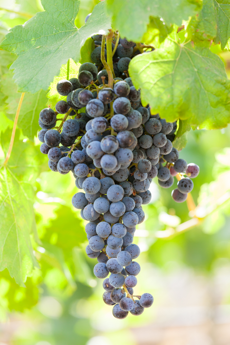 A bunch of ripe Merlot red wine grapes growing on a grapevine at a vineyard in Walla Walla, Washington, United States