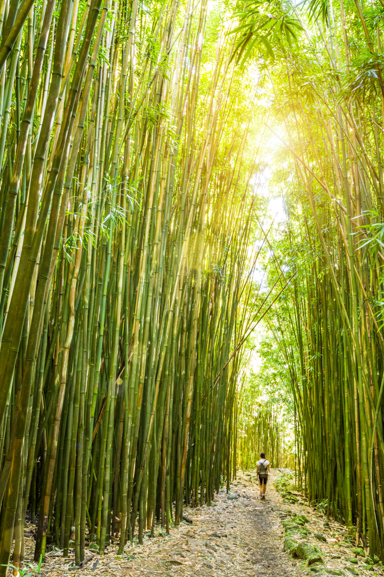 Woman hiking walking in giant bamboo forest, Haleakala National Park, Maui, Hawaii. Independent adventure travel concept.